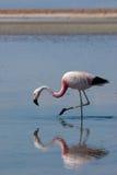 atacama智利de flamingo撒拉尔 免版税库存图片