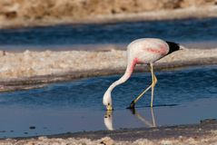 atacama智利de flamingo撒拉尔 库存照片