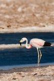 atacama智利de flamingo撒拉尔 免版税图库摄影