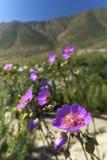 15-08-2017 Atacama öken, Chile Blomma öknen 2017 Arkivbilder