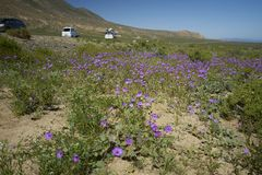 15-08-2017 Atacama öken, Chile Blomma öknen 2017 Arkivfoton