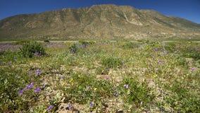 15-08-2017 Atacama öken, Chile Blomma öknen 2017 Arkivfoto