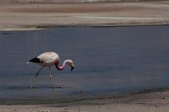 atacama de flamingo salar gå vatten Royaltyfri Foto