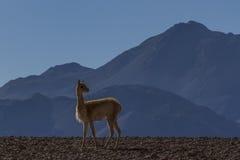 Atacama desert. Stock Photos