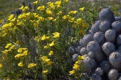 15-08-2017 Atacama Desert, Chile. Flowering Desert 2017. 15-08-2017 Atacama Desert, Chile. Landscapes of the Flowering Desert. Flowers and colors conform this stock photo