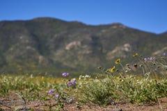 15-08-2017 Atacama Desert, Chile. Flowering Desert 2017. 15-08-2017 Atacama Desert, Chile. Landscapes of the Flowering Desert. Flowers and colors conform this royalty free stock images