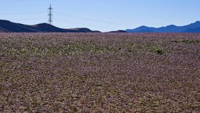 15-08-2017 Atacama Desert, Chile. Flowering Desert 2017 stock image