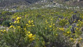15-08-2017 Atacama Desert, Chile. Flowering Desert 2017. 15-08-2017 Atacama Desert, Chile. Landscapes of the Flowering Desert. Flowers and colors conform this stock photography