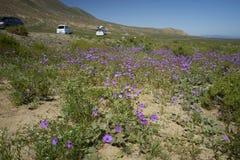 15-08-2017 Atacama Desert, Chile. Flowering Desert 2017. 15-08-2017 Atacama Desert, Chile. Landscapes of the Flowering Desert. Flowers and colors conform this stock photos