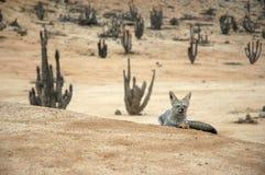 Atacama Desert fox relaxes. Relaxing red fox of the Atacama Desert, Chile, South America, at Pan de Azucar National Park Stock Images