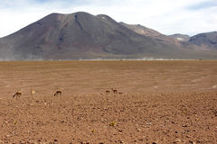 Atacama Desert vicuna, Chile Stock Photo