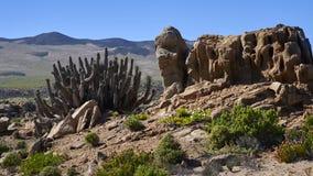 15-08-2017 Atacama pustynia, Chile Kwiatonośna pustynia 2017 Zdjęcia Royalty Free