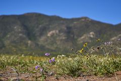 15-08-2017 Atacama pustynia, Chile Kwiatonośna pustynia 2017 Obrazy Royalty Free