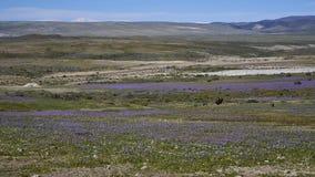 15-08-2017 Atacama pustynia, Chile Kwiatonośna pustynia 2017 Zdjęcie Stock