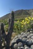 15-08-2017 Atacama-Wüste, Chile Blühende Wüste 2017 Stockfotografie