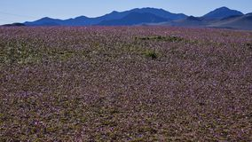 15-08-2017 Atacama-Wüste, Chile Blühende Wüste 2017 Lizenzfreie Stockbilder