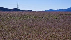 15-08-2017 Atacama-Woestijn, Chili Bloeiende Woestijn 2017 Stock Afbeelding