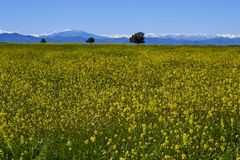 15-08-2017 Atacama-Woestijn, Chili Bloeiende Woestijn 2017 Royalty-vrije Stock Fotografie