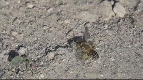 Atacks o estrangeiro da abelha no movimento lento super vídeos de arquivo