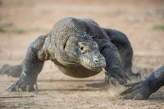 Atak Komodo smok Smoka bieg na piasku Działający Komodo smok (Varanus komodoensis) Fotografia Stock