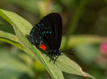 Atala Royalty Free Stock Image