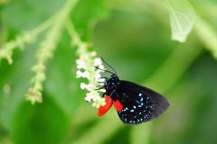 Atala Butterfly Stock Photos