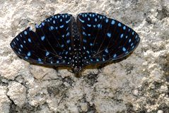 Atala Butterfly. Emaus atala perched coral rock Royalty Free Stock Photos