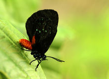 Atala butterfly Royalty Free Stock Photography