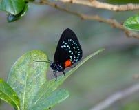 Atala d'Eumaeus de papillon d'Atala Photo stock