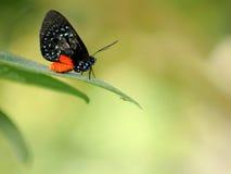 Atala fjäril, Florida Arkivfoton