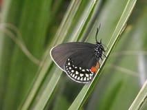Atala modraszka motyla zamykający skrzydła Fotografia Royalty Free