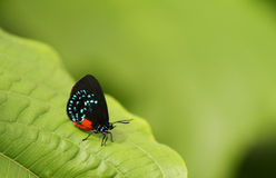 Atala-Schmetterling, der auf grünem Blatt stillsteht. Lizenzfreies Stockfoto