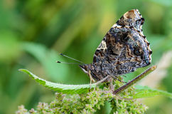Atalanta της Vanessa πεταλούδων Στοκ Εικόνα