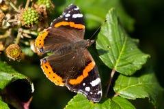 Atalanta Ванессы красного адмирала бабочки садилось на насест на лист Стоковые Изображения