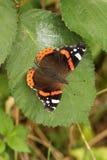 Atalanta Ванессы довольно красного адмирала бабочки садилось на насест на лист Стоковые Изображения