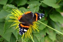 Atalanta butterfly on flower Stock Photos
