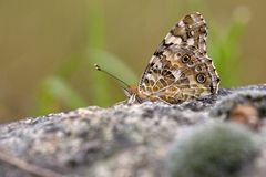 Atalanta butterfly warming up on rock Stock Images