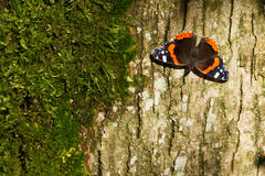 Atalanta d'amiral rouge Butterfly - de Vanessa Photographie stock