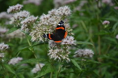 Atalanta de Vanesa de la mariposa Foto de archivo libre de regalías