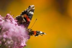 Atalanta de Vanessa, amiral rouge, papillon coloré Photographie stock libre de droits
