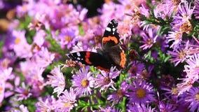 Atalanta de Vanessa da borboleta do ` s do almirante vídeos de arquivo