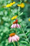 Atalanta de Vanessa de papillon alimentant sur le purpurea d'Echinacea de fleur Images libres de droits