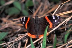 Atalanta del vanessa della farfalla dell'ammiraglio rosso Fotografia Stock Libera da Diritti