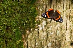 Atalanta do almirante vermelho Butterfly - da Vanessa Fotografia de Stock