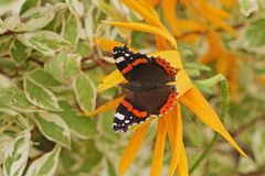 Atalanta för röd amiral Vanessa för fjäril med öppna vingar, closeu Royaltyfri Foto