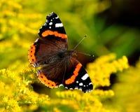 Atalanta quotidiano della vanessa della farfalla di ammiraglio Fotografie Stock