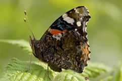 Atalanta, Red Admiral, Vanessa atalanta royalty free stock images