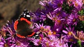 Atalanta van Vanessa van de admiraals` s vlinder stock video