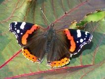 Atalanta van Vanessa van de vlinder. stock afbeelding