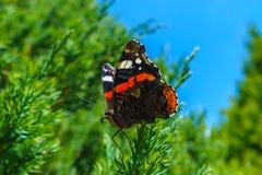 Atalanta van vlindervanessa in natuurlijk milieu Stock Afbeeldingen